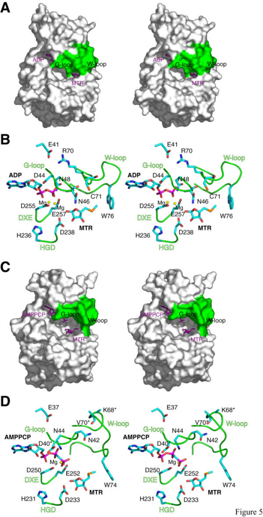 Comparison of the nucleotide binding pockets and loop conformations. Stereo surface representation of the A. thaliana MTR kinase ADP-MTR complex and B. subtilis MTR kinase AMPPCP-MTR complex are shown in panel (a) and (c), respectively with the G- and W-loop coloured in green and the ligands shown as purple sticks. Stereo cartoon representations of the four functionally important loops, the G-loop, the W-loop, the Mg-binding DXE-motif, and the HGD catalytic loop, found in the A. thaliana and B. subtilis enzymes are shown in (b) and (d), respectively. Substrates and important residues discussed in the text are shown in stick presentation with the same colour scheme as in Figure 4b. Residues labelled with an asterisk indicate that disordered side chains are observed in at least one subunit of all known structures of the B. subtilis enzyme. This figure was prepared using PyMOL [51].