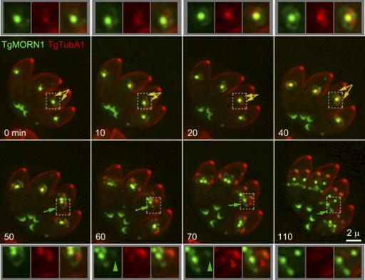 Time-lapse Images Showing That the TgMORN1 Ring Is Initiated around the Duplicated Centrioles (cf. Video S1)Images are selected time points from a time-lapse experiment tracking the cell division of four parasites expressing EGFP-TgMORN1 (green) and mCherryFP-TgTubA1 (red) (cf. Video S1). See text for detailed description of the time sequence. Top and bottom panels are 2× magnification of regions indicated by the dotted frames. Yellow arrows (t = 0–40 min), the initiation sites of the basal complex around the centrioles; green arrows (t = 50–110 min), daughter basal ring complex; green arrowheads (t = 60–70 min), TgMORN1 labeling of the daughter apical complex; red arrowheads (t = 70 min), the centriole labeling that is just separated from the conoid labeling of mCherryFP-TgTubA1.All images are maximum intensity projections of deconvolved 3D stacks.