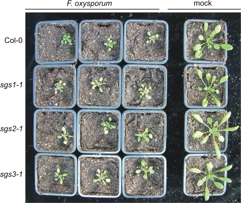 Typical symptoms caused by F. oxysporum on Arabidopsis sgs mutants. The mutants sgs1-1, sgs2-1, sgs3-1, and the corresponding wild type Col-0 were inoculated with F. oxysporum f.sp. raphani, or mock-inoculated. The picture was taken at 12 d post-inoculation.