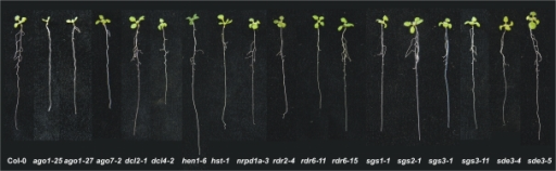 Typical root architecture of in vitro-grown Arabidopsis gene silencing mutants. Roots were grown on vertically oriented MS plates and pictures were taken 10 d after sowing. (This figure is available in colour at JXB online.)