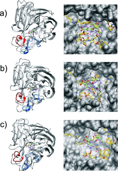 Equilibrium orientations of oseltamivir in the different binding sites. Overall orientations (left panel) and active-site interactions (right panel) of oseltamivir bound to (a) the N1-closed, (b) the N1-open, and (c) the N9-closed system. The original conformations of the 150- and 430-loops are shown in blue and red, respectively, to highlight the loop motion observed in the course of the dynamics. Active-site residues within 4 Å of oseltamivir are shown explicitly. The original conformation of oseltamivir is shown in violet for comparison.
