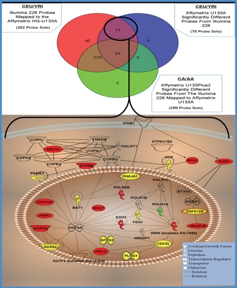 Twelve of the 14 probe sets identified in the Venn diagram with immortalized cell-specific differential expression (circled in Venn diagram), mapped to 12 independent genes in Ingenuity Pathway program to construct the 'immortalization network'. The 12 independent genes are depicted in red. POLR1A which has an heritable eQTL in the YRI population with significant differential expression by ACOO is in green. The additional genes with ACOO significantly different expression but are not immortalization specific are in yellow.
