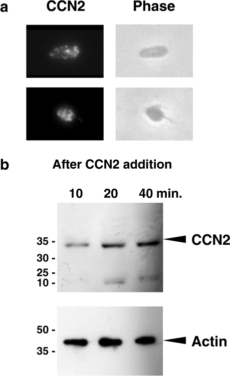 a Distribution of CCN2 in platelets. CCN2 in human platelets was visualized by immunofluorescence analysis and was viewed at a magnification of ×400. CCN2 is found in granular structures therein. b Absorption/incorporation of exogenous CCN2 to/by human platelets. After the addition of CCN2, human platelets were collected and subjected to Western blotting for the detection of CCN2. Western blotting against actin was also performed as an internal control. The intensity of the signals at 38 kDa, representing full-length CCN2, increased with time up to 40 min after the addition of CCN2. The minor bands are anticipated to be proteolytic N-terminal fragment of CCN2. Evaluation was performed with two samples from independent donors, and similar results were obtained