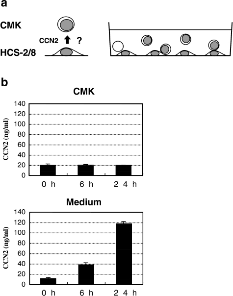 Evaluation of the intercellular transfer of CCN2 from HCS-2/8 to CMK cells. a Experimental strategy. CMK cells were seeded onto HCS-2/8 cells that had been attached to tissue culture wells and allowed to make cell-to-cell contact. b No transfer of CCN2 into CMK cells. After the indicated intervals, CCN2 in CMK cell lysates and co-culture media was quantified by ELISA