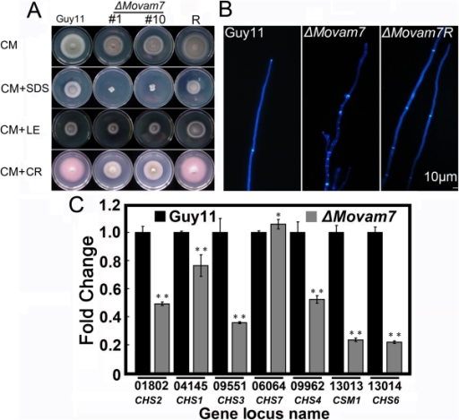 Deletion of Movam7 resulted in altered distribution of chitins.(A) The ΔMovam7 mutants (#1 and #10), complemented mutant (ΔMovam7R), and wild type strains were incubated on CM plates supplemented with various stress inducers at 28°C for 6 days. Growth of the ΔMovam7 mutant in media supplemented with SDS (0.01%; vs wild type P<0.01), lysing enzymes (2 mg/ml), and Congo Red (20 µg/ml). (B) Deletion of Movam7 altered the distribution of chitin within the cell. In the wild-type strain Guy11, CFW fluorescence was mainly distributed at the hyphal and septal apices, whereas in the ΔMovam7 mutant, fluorescence was not restricted to growing apices and found also on the lateral walls along the hyphal axe. This abnormal distribution of cell wall components was restored by the introduction of the wild-type MoVAM7 gene. (C) Reduced expression was found in six out of seven genes that encode chitin synthases in the ΔMovam7 mutants of M. oryzae. RNA was extracted from mycelia that were grown for 3 days in liquid CM. Error bars represent the standard deviation and asterisks represent significant different among stains tested. All of the reductions are significant (P = 0.01 or P = 0.05) according to Duncan's multiple range test.