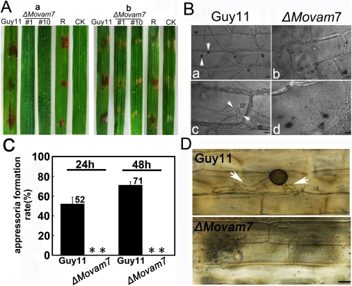 MoVam7 is required for pathogenicity.(A) Pathogenicity test on rice (Oryza sativa cv. CO39). Rice leaves, unwounded (a) or wounded by abrasion (b), were inoculated with the wild-type strain, ΔMovam7 mutants, and complemented mutant (ΔMovam7R) strains, with water as a control. Mycelia cultured in CM for 2 days were harvested by centrifugation (10 min at 5000×g), washed twice with distilled water, and fragmented into 30-50 µm lengths by homogenization. The fragmented mycelia suspension was adjusted to 5×104 pieces/ml and inoculated onto intact or abraded leaves of susceptible rice. The experiments were repeated three times each with similar results. (B) Appressorium formation at the hyphal tip was blocked in ΔMovam7 mutants. The fragmented mycelia suspension was incubated on the surface of hydrophobic Gelbond film as described in Materials and Methods. The appressoria formation rates were obtained at 12 and 24 hours post incubation. (C) and (D) Penetration assays on onion and rice sheath epidermal cells. Fragmented mycelia suspensions (5×104 pieces/ml) of the wild-type and ΔMovam7 mutant strains were inoculated on strips of onion epidermis and rice sheath, appressoria onion (D) and infectious hyphae on rice sheath (E), all pointed by arrows, were photographed 1 day after inoculation.