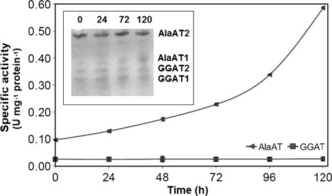 AlaAT and GGAT specific activities in shoots of control wheat seedlings and seedlings harvested 24, 48, 72 and 120 h after induction of hypoxia. Changes in activity of individual AlaAT and GGAT revealed by activity staining are given in inset graph. Results are the mean of three replicates ± SD