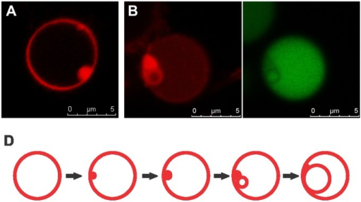 Origin of intracellular vesicles.(A) First, uniformity of the unilamellar membrane structure is disturbed and phospholipids accumulate along the membrane. (B) Small intracellular vesicles are always generated in direct proximity to these lipid domains (left), and cytoplasmic material of the maternal cell is encapsulated into the vesicles as visualized by the compartmentalization of GFP (right). Membranes stained with CellTrace BODIPY TR methyl ester and cytoplasmic GFP fluorescence are shown in red and green, respectively. All images are confocal. (D) Current model for vesicle genesis. Lipid accumulations act as a pool for incorporation of phospholipids into a membrane structure, resulting in enlargement of intracellular progeny vesicles by a self-organizing, spontaneous process typical for bipolar phospholipids.