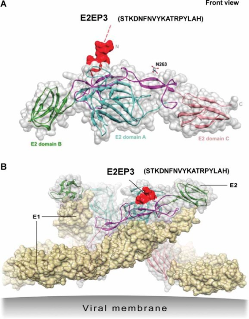 Localization of the E2EP3 epitopeSchematic diagram showing the localization of the E2 glycoprotein specific epitope (E2EP3, in red colour) in the E2 glycoprotein alone based on structural data retrieved from PDB records: 3N44. Tertiary structure of E2 glycoprotein is arranged into three structural domains (E2 domain A, amino terminal; E2 domain B, centre; E2 domain C, carboxyl terminal).Schematic diagram showing the localization of E2EP3 in the protein complex situated at the surface of the virus based on structural data retrieved from PDB records: 2XFB. Spatial arrangement of E1 glycoprotein (in pale yellow colour) and E2 glycoprotein (in light grey colour) on the viral membrane surface are indicated accordingly.