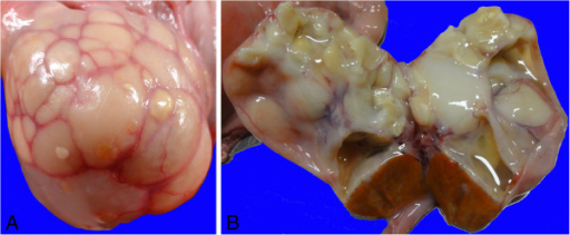 Gross Appearance Of A Bovine Ovary With Squamous Metapl Open I