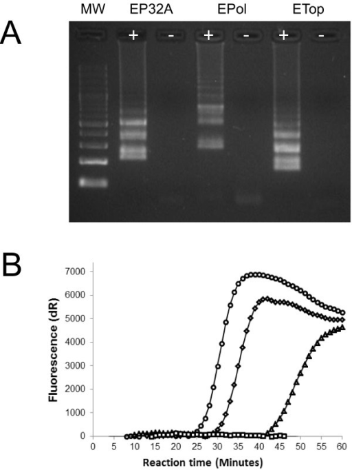 Evaluation of candidate LAMP assays. A: Agarose gel (2%) showing the characteristic laddering pattern generated by LAMP for the detection of GTPV isolate Vietnam Ninh Tuan 05 by three different LAMP primer sets: EP32A (P32 gene); Epol (RNA polymerase RPO30 subunit) and ETop (DNA topoisomerase I). Results for negative controls (−) are shown. MW: molecular weight ladder (100 bp). B: Corresponding increase in fluorescence generated for EP32A (○: circle); Epol (△: triangle) and ETop (◊: diamond) LAMP assays using a real-time PCR machine. Representative signal for a negative control (□) well is shown.