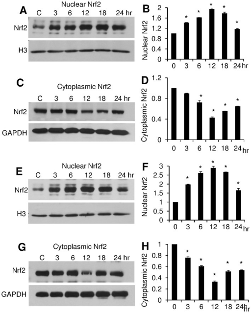 PCN induces nuclear NRF2 accumulation in a time-dependent manner.A549 cells were exposed to 5.0 µg/ml (A–D) and 12.5 µg/ml (E–H) of PCN, respectively, for indicated time intervals. Total nuclear and cytoplasmic proteins were harvested for Western blot using an anti-NRF2 monoclonal antibody. Histone H3 and GAPDH were used as loading controls. The experiments were repeated three times with similar results. The western blots from one typical experiment are shown. Densitometry data represent the mean ± SD from all three experiments. *p<0.05 when PCN-exposed cells were compared against the control cells exposed to same volume of sterile water. (A–B) Western blots and densitometry analyses of nuclear NRF2 after 24 hr of exposure to 5.0 µg/ml PCN. (C–D) Western blots and densitometry analyses of cytoplasmic NRF2 after 24 hr of exposure to 5.0 µg/ml PCN. (E–F) Western blots and densitometry analyses of nuclear NRF2 after 24 hr of exposure to 12.5 µg/ml PCN. (G–H) Western blots and densitometry analyses of cytoplasmic NRF2 after 24 hr of exposure to 12.5 µg/ml PCN.