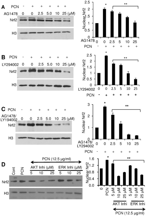 EGFR and PI3K inhibitors diminish PCN-enhanced NRF2 accumulation in the nuclei of A549 cells.A549 cells were exposed to the EGFR inhibitor AG1478 (A), the PI3K inhibitor LY294002 (B), or a combination of both AG1478 and LY294002 (C), or AKT or ERK inhibitors (D) for 90 min before the addition of PCN (12.5 µg/ml) for 12 hr. The expression of nuclear NRF2 was examined by monoclonal anti-NRF2 antibody and quantified by densitometry. The experiments were repeated three times with similar results. Densitometry data represent the mean ± SD from all three experiments. *p<0.05 when cells that were exposed to PCN were compared to control cells exposed to the same volume of sterile water. **p<0.05 when cells that were exposed to AG1478 or LY294002 or AG1478 plus LY294002, or AKT and ERK inhibitors were compared to cells exposed to PCN alone.