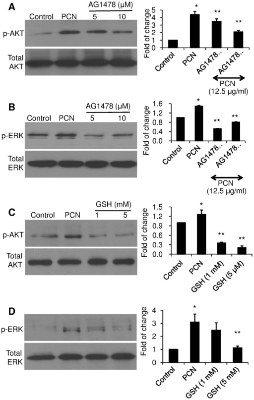 EGFR inhibitor and antioxidant GSH prevent the inhibition of PCN-mediated activation of AKT and ERK1/2 signaling.A549 cells were exposed to the EGFR inhibitor AG1478 (A–B) or GSH (C–D) for 90 min before the addition of PCN (12.5 µg/ml) for 12 hr. Control cells were exposed to same volume of sterile H2O. Cytoplasmic proteins were probed with anti-phospho–specific antibodies. (A–B) The phosphorylation of AKT and ERK1/2 in A549 cells treated with AG1478 and PCN. (C–D) The phosphorylation of AKT and ERK1/2 in A549 cells treated with GSH and PCN. Right panels represent densitometry analysis of western blots. The experiments were repeated three times with similar results. Densitometry data represent the mean ± SD from all three experiments. *p<0.05 when cells that were exposed to PCN were compared to control cells exposed to the same volume of sterile water. **p<0.05 when cells that were exposed to AG1478 or GSH were compared to cells exposed to PCN alone.