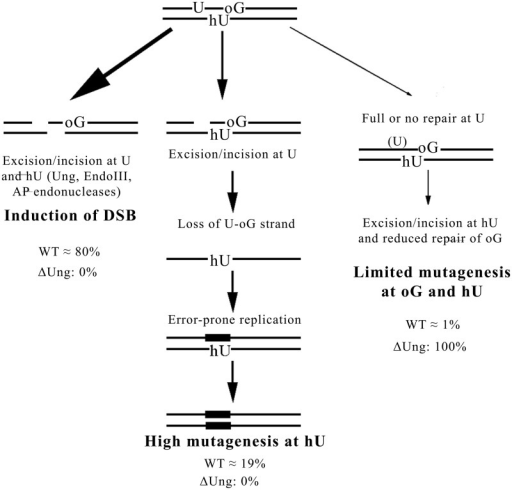 The model proposed for processing of MDS composed by two oxidized bases and U. We propose that U-oG/hU MDS are processed by three pathways. A major pathway (∼80%) converts MDS into DSB in WT cells owing to the excision/incision at U and hU by Ung, EndoIII (Nth), AP endonucleases, whereas it does not occur in Δung cells. This was determined from the fraction of viable colonies (∼20%) after transformation with MDS-containing DNA. For ∼19% of the events in WT cells, the fast excision/incision at U produces an SSB, which, in the presence of surrounding lesions, is not further repaired and leads to the loss of the U-oG-strand. Error-prone replication of hU-carrying strand thus occurs and leads to elevated mutagenesis at hU (reaching almost 100% of surviving clones). This pathway is not activated in Δung strain. In rare cases (∼1% of total events in WT cell), when the full repair of U is extremely fast (WT) or does not occur (in Δung), the hU is repaired before oG and the excision/incision at hU partly inhibits or retards repair of oG. Consequently, the mutagenesis rate at hU within MDS is as at single hU (in WT cells), and mutagenesis at oG within studied MDS is slightly increased in comparison with that at single oG. This third pathway represents the only possible pathway in Δung cells. It should be slightly more represented in the processing of MDS/−5 than for MDS/+1 because of greater interlesion spacing.