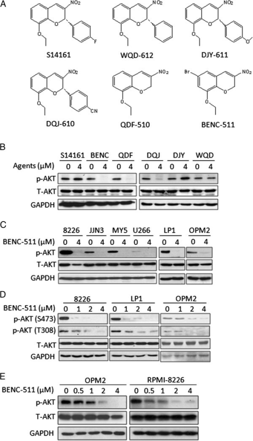 BENC-511 displays potent inhibitory effects on AKT activation. (A) The structures of the analogs of S14161, including DQJ-610, DJY-611, WQD-612, QDF-510, BENC-511. (B) OPM2 cells were treated with 4 μM of S14161, BENC (BENC-511), QDF (QDF-510), DQJ (DQJ-610), DJY (DJY-611), or WQD (WQD-612) for 24 hours. After incubation, cells were harvested and total proteins were isolated. Expression of p-AKT (S473) and total AKT were measured by immunoblotting. (C) RPMI-8226 (8226), JJN3, OCI-MY5 (MY5), U266, LP1, OPM2 cells were treated with 4 μM of BENC-511 or DMSO for 24 hours followed by the analysis of the expression of p-AKT (S473) and total AKT. (D) RPMI-8226, LP1 and OPM2 cells were treated with increasing concentration of BENC-511 for 24 hours. Expression of p-AKT (S473 and T308), and total AKT were measured by immunoblotting. (E) RPMI-8226 and OPM2 cells were treated with increasing concentration of BENC-511 for 12 hours followed by the analysis of AKT activation. GAPDH was used as a loading control. T-AKT: total AKT.