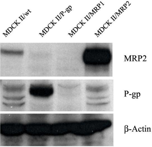 Overexpression of P-glycoprotein (PGP) and Multidrug Resistance Protein 2 (MRP2) in MDCK II cells using western blot analysis. Ten milligrams of protein of each cell lysate were size fractionated in a polyacrylamide gel containing SDS. Blots of the gel were incubated with antibodies to PGP (C219) and MRP2 (MRP2 H-17), followed by enzyme-linked anti-mouse or anti-goat antibodies, respectively. The images were then developed by enhanced chemiluminescence.