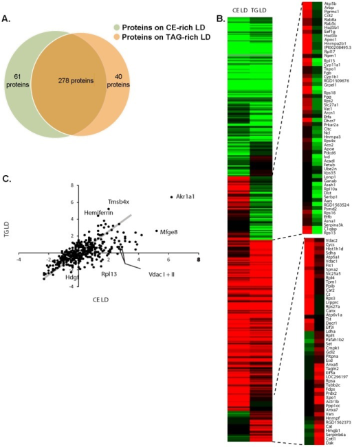 Protein detection in CE-enriched and TG-enriched LDs.A. Venn diagram indicating overlap of proteins expressed in CE-enriched and TAG-enriched LDs. B. Heat map and representative clustering of CE-enriched LDs compared to TAG-enriched LDs. C. Scatter plot of proteome of TAG-enriched LDs and CE-enriched LDs. The scatterplot visualizes the intensity of the tandem mass tag (TMT) reporter channel representing CE against a control channel versus the fold change of the TMT reporter channel representing TAG against the control reporter channel, which are plotted against each other.