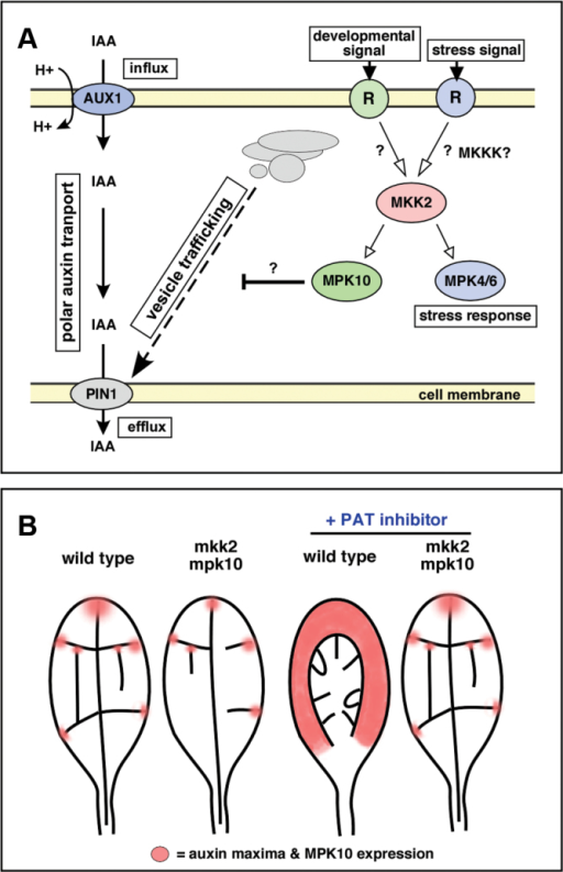 Putative Model for the Function of the AtMKK2/AtMPK10 Kinase Cascade on PAT and Vascular Development.(A) MKK2 and MPK10 affect directly or indirectly the vesicle trafficking efficiency within the vascular precursor cells. This affects also the transport of the auxin carrier to the cell membrane thereby altering the polar auxin transport and vascular development (for detailed explanation, see the 'Discussion' section).(B) The effect of MKK2/MPK10 on leaf vascular development in the context of auxin channeling. The model integrates known effects of PAT inhibitors on wild-type leaves, AtMPK10 and DR5 expression patterns (= auxin maxima), atmpk10 and atmkk2 mutant phenotypes, AtMPK10 overexpression, and treatment of the mutants with the PAT inhibitor HFCA. Here the MKK2/MPK10 kinase cascade controls number and 'strength' of auxin maxima (red) as starting sites for provascular strands formation. In mpk10 and mkk2 mutant plants, auxin maxima are fewer and in smaller areas leading to a less complex vasculature. Thus, plants lacking MPK10 or MKK2 activity are less sensitive to PAT inhibitors and form a vasculature exhibiting a similar complexity to the wild-type.
