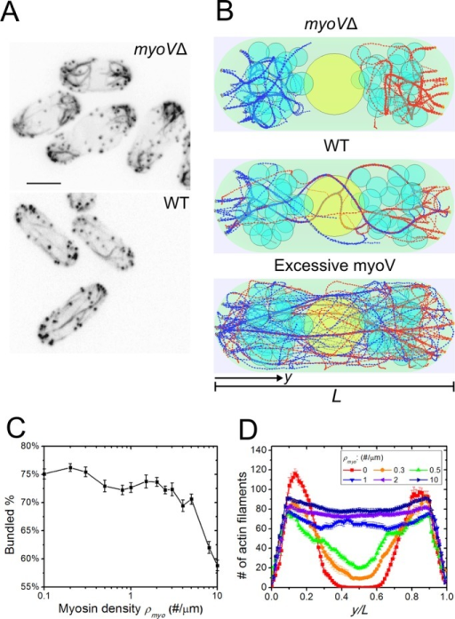 Simulations of myosin V force straightening actin cables (Supplemental Video S1). (A) Experimental images of actin cables in myoVΔ cells in which >95% of the cells showed misoriented and thick cables and >70% of the cells showed an extension defect (reproduced with permission from Lo Presti et al., 2012). (B) Simulated steady-state configurations of myosin density ρmyo = 0, 1, and 10 μm−1, showing misoriented cables at the tip, normal actin cables, and straightened but thin actin cables. (C) Bundled actin filament percentage as a function of myosin V density ρmyo. Fewer actin filaments are bundled for high ρmyo. Error bars are SEM from five runs. (D) Graph of actin filament bead concentration along the long axis of the cell (average of three simulations). More actin filaments are able to span the cell as ρmyo increases.