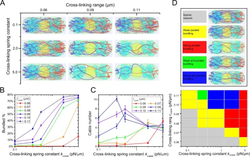 "Stronger cross-linking interactions promote actin cable formation in simulations (Supplemental Videos S2 and S3). (A) Steady-state configurations under different cross-linking spring constant (kcrslnk) and cross-linking interaction range (rcrslnk). (B) Bundled actin filament percentage increases with increasing rcrslnk and kcrslnk. (C) Cable number as a function of rcrslnk and kcrslnk. In B and C, error bars are SEM from five runs. (D) Polarity of actin filaments in cables varies with cross-linking parameters. In ""weak"" regions, most actin filaments are unbundled. In ""strong"" regions, most filaments are bundled in either primarily parallel or antiparallel orientations. Antiparallel orientations occur due to bundling of filaments that grow from different cell tips."