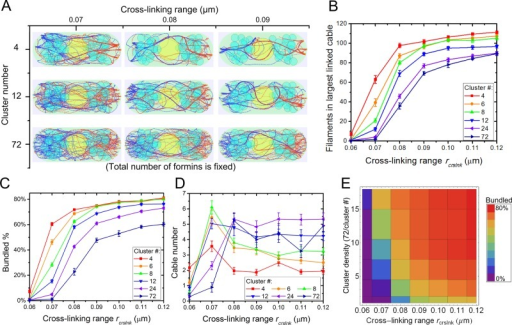 Clustering of For3p and increase in cross-linking strength promote actin cable formation in simulations. (A) Steady-state configurations under different cluster densities and cross-linking interaction range rcrslnk with 72 formin nucleation sites per cell tip partitioned in the indicated number of clusters. High For3p clustering (cluster number, 4) and large rcrslnk show fewer and thicker actin cables. (B) Number of actin filaments in largest linked cable increases with increasing rcrslnk and cluster density. (C) Bundled actin filament percentage increases with increasing rcrslnk and cluster density. (D) Cable number as a function of rcrslnk and cluster density. (E) Bundled percentage landscape as function of cluster density and rcrslnk corresponding to C. In B–D, error bars are SEM from five runs.