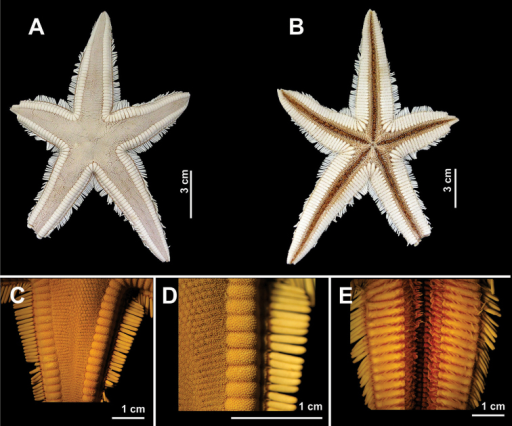 Some species of the family Astropectinidae recorded in northeastern Brazil. Astropectenmarginatus(A–E)A Abactinal view B Actinal view C Abactinal view of the arm D Detail of the superomarginal fig, and E Actinal view of the arm.