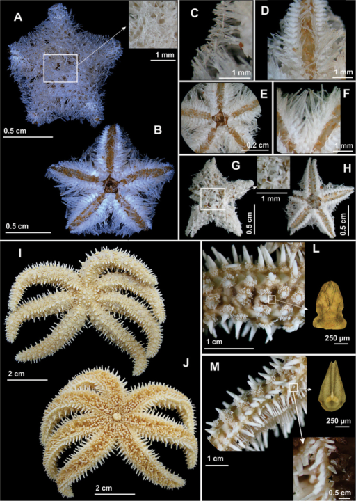 Some species of the order Velatida(A–H) and Forcipulatida(I–M) recorded in northeastern Brazil. Calyptrastercoa(A–H)A Abactinal view, in detail the supradorsal membrane B Actinal view C Detail of the paxillae with long peduncles D Actinal view of the arm E Detail of the mouth F Detail of the actinal intermediate area G Abactinal view, in detail oscular valves H Actinal view; Coscinasteriastenuispina(I–M)I Abactinal view J Actinal view L Abactinal view of the arm, in detail the bivalve pedicallariae (optical microscopic image), and M Lateral view of the arms, in detail the bivalve pedicellariae (optical microscopic image).