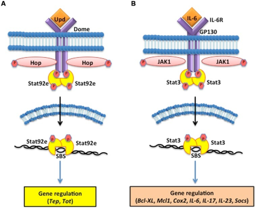 The Janus kinase/signal transducers and activators of transcription (JAK/STAT) pathway in the fruit fly and the mouse. (A) The D. melanogaster JAK/STAT cytokine receptor, Domeless (Dome) is activated upon binding the Unpaired (Upd) cytokines, which causes the JAK tyrosine kinase Hopscotch (Hop) to phosphorylate itself and the cytoplasmic tail of Dome. The signal-transducer and activator of transcription at 92E (Stat92e) bind to the phosphotyrosines on the receptor, and are phosphorylated by Hop. Stat92e dissociate from the receptor, dimerize, move to the nucleus, and induce the transcription of Thioester-containing protein genes (Teps) and Turandot (Tot) stress genes. (B) In Mus musculus, interleukin-6 (IL-6) binds to its receptor (IL-6R) and activates the Glycoprotein GP130 via the JAK1/JAK2 kinases. STAT3 activation is dependent upon tyrosine phosphorylation, which induces dimerization via reciprocal phosphotyrosine-SH2 (Src homology domain 2) interaction between two STAT3 molecules. Activated STAT3 transcription factors translocate into the nucleus where they bind to consensus promoter sequences and cause the transcriptional induction of target genes, such as B-cell lymphoma-extra large (Bcl-xl), myeloid cell leukemia 1 (Mcl-1), cytochrome c oxidase II (Cox2), ILs [IL-6, IL-17, IL-23, Suppressor of cytokine signaling (Socs)].