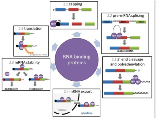 Mechanisms of posttranscriptional control regulated by RNA binding proteins. Capping (section in this article) describes the addition of a 7-methylguanosine to the 5' end of nascent mRNA, RBPs bind to the cap and promote mRNA stability. Pre-mRNA splicing (section in this article) describes the excision of noncoding introns from nascent mRNA regulated by numerous RBPs within the macromolecular spliceosome. 3'-end cleavage and polyadenylation (section in this article) involves cleavage at a defined site and the 3'-end of fully transcribed pre-mRNA followed by the addition of 150–200 adenosine residues, facilitated by a complex of RBPs. mRNA export (section in this article) refers to the shuttling of mature mRNAs through the nuclear pore complex to the cytoplasm, mediated by the association of RBPs with specific transcripts. MRNA stability (section in this article) can be modulated by transcript associations with specific RBPs, poly(A) tail alterations and decapping often precede rapid degradation. Translation (section in this article) is orchestrated by a complex of RBPs, known as polysomes, RBPs can also modulate translation via exonuclease degradation or sequestering of transcripts in protective cytoplasmic compartments. RBP: RNA binding proteins.