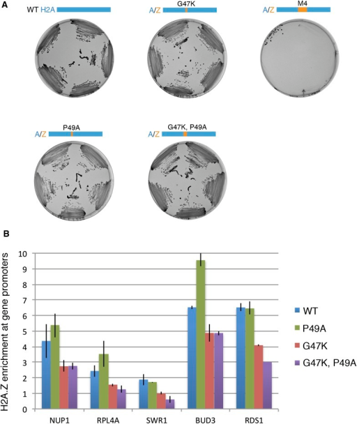 Effect of H2A M4 on H2A.Z enrichment at gene promoters.(A) Viability of H2A mutants. In the plasmid shuffle experiment, yeast cells containing episomal copies of WT HTA1/HTB1 (under URA selection) and a second plasmid of WT or indicated mutants (under HIS selection) were plated on CSM-His/5-FOA plates. (B) ChIP-PCR for H2A.Z-HA for WT and mutant cells. The signal from gene promoters was normalized to a sub-telomeric region on chromosome 6. Error bars are standard deviations from technical repeat.DOI:http://dx.doi.org/10.7554/eLife.06845.005