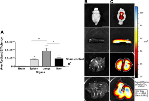 Preferential ex vivo migration of hBMSC-DiR+ to spleen in chronic stroke.A, Quantitative analysis of fluorescent signals brain, spleen, lungs, and liver confirmed preferential migration of hBMSC-DiR+ to the spleen over the brain (*P<0.05). B, Photographs correspond to representative peripheral organs ex vivo. B, Sham animals (brain, spleen, lungs, and liver) and (C) hBMSC-DiR+ (brain, spleen, lungs, and liver). Radiant efficiency={(p/sec/cm2/sr)/(μW/cm2)}, color scale: min=3.74×107; max=4.99×107. *P<0.05, **P<0.01, and ***P<0.001. Data are expressed as mean±SEM. DiR indicates 1,1′-dioctadecyl-3,3,3′,3′-tetramethylindotricbocyanine iodide; and hBMSC, homing and anti-inflammatory effects of bone marrow stromal cells.