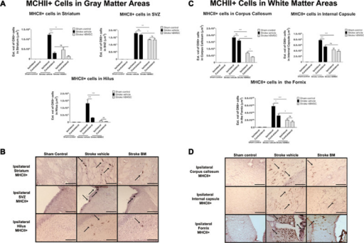 Homing and anti-inflammatory effects of bone marrow stromal cells (hBMSC) transplantation ameliorates neuroinflammation in gray and white matter areas in chronic stroke. A, Stereological analysis of MHCII+ cells estimated volume in striatum, subventricular zone (SVZ), and hilus revealed significant upregulation of activated MHCII+ cells in the ipsilateral side of vehicle-infused stroke animals compared with their contralateral side across all gray matter areas analyzed (***P<0.0001), except SVZ (P>0.05). There were significant upregulation of activated MHCII+ cells in both ipsilateral and contralateral gray matter areas of vehicle-infused stroke animals (P<0.0001) and hBMSC-transplanted stroke animals compared with sham animals (P<0.05). hBMSC transplantation caused a 35%, 28%, and 90% reduction of the estimated volume of MHC+ cells in the ipsilateral striatum, SVZ, and hilus, respectively, relative to the ipsilateral side of the same regions of vehicle-infused stroke animals (**P<0.01; **P<0.01; ***P<0.001). B, Photomicrographs are representative coronal brain sections ipsilateral to injury stained with MHCII 11 days post hBMSC transplantation. Arrows indicate positive staining for activated MHCII+ cells in striatum, SVZ, and hilus. C, Effects of hBMSC transplantation on MHCII+ cells in white matter regions. Stereological analysis of MHCII+ cells estimated volume in corpus callosum, internal capsule, and fornix revealed significant upregulation of activated MHCII+ cells in the ipsilateral side of vehicle-infused stroke animals compared with their contralateral side across all white matter areas analyzed (***P<0.0001), except corpus callosum (P>0.05). There were significant upregulation of activated MHCII+ cells in both ipsilateral and contralateral side of vehicle-infused stroke animals (***P<0.0001) and hBMSC-transplanted stroke animals across all white matter areas analyzed compared with sham animals (*P<0.05). hBMSC transplantation caused a 60%, 38%, and 70% reduction of the estimated volume of MHCII+ cells in the ipsilateral corpus callosum, internal capsule, and fornix, respectively, relative to the ipsilateral side of the same regions of vehicle-infused stroke animals (***P<0.001). D, Photomicrographs are representative coronal brain sections ipsilateral to injury stained with MHCII 11 days post hBMSC transplantation. Arrows indicate positive staining for activated MHCII+ cells. Scale bar=50 μm. *P<0.05, **P<0.01, and ***P<0.001; ns=not significant. Data are expressed as mean±SEM. MHCII indicates major histocompatibility complex II.