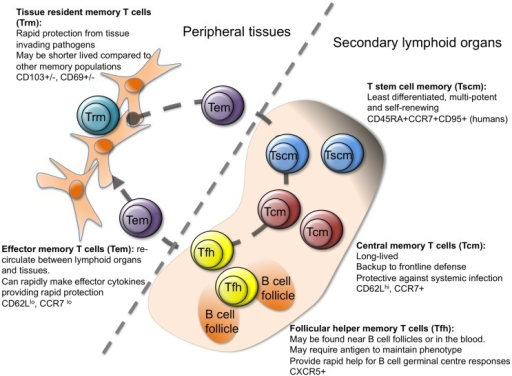 Heterogeneity in memory CD4 T cells. Memory CD4 T cells can be found in lymphoid organs, blood, and at tissue sites. Stem cell memory T cells (Tscm) and central memory T (Tcm) cells are found in lymphoid organs and in the blood. Both populations are relatively undifferentiated compared to other memory CD4 T cell subsets, and are long lived. Follicular helper memory T (Tfh) cells can also be found in the blood and lymphoid organs. They express the B cell follicle homing receptor, CXCR5, which can position them near B cell follicles to provide rapid B cell help upon reactivation. Effector memory (Tem) and tissue resident memory T (Trm) cells can both be found in peripheral tissues and are more differentiated than Tcm and Tscm. Tem are migratory, passing through tissues and the blood, while Trm are restricted to tissues. Both populations can respond rapidly to tissue invading pathogens (15, 17, 23–27).