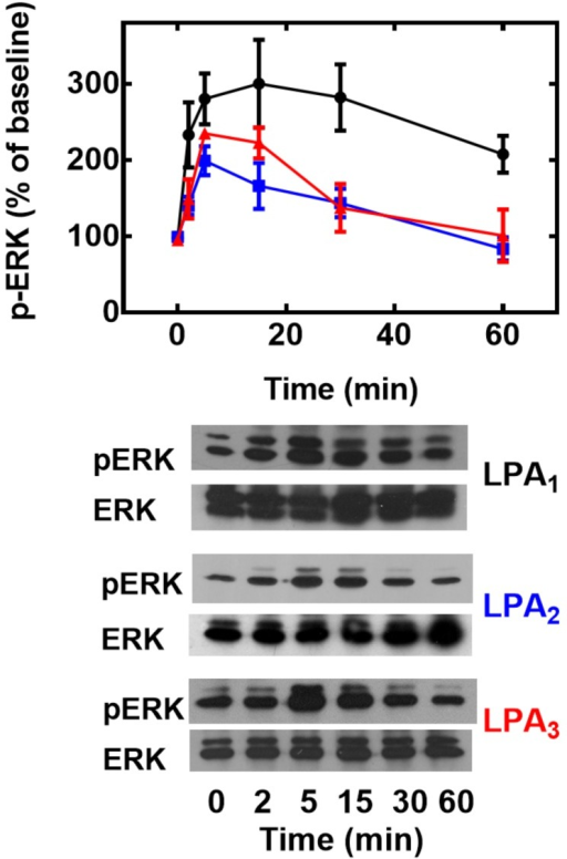 Effect of LPA on ERK 1/2 phosphorylation.Cells overexpressing LPA1 (black, circles), LPA2 (blue, squares) or LPA3 (red, triangles) receptors were incubated for the times indicated in the presence of 1 μM LPA, incubation was terminated and phospho-ERK 1/2 (pERK) and total ERK 1/2 (ERK) were assayed by Western blotting. Plotted are the increases in phospho-ERK 1/2 as mean ± S. E. M. of 4–5 experiments using different cell preparations. Representative Western blots are presented for the different receptor subtypes.