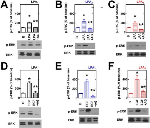 Transactivation of EGF receptors in LPA-induced ERK 1/2 phosphorylation.Cells overexpressing LPA1 (panels A and D), LPA2 (panels B and E) or LPA3 (panels C and F) receptors were incubated in the absence or presence of 10 μM AG1478 (AG) for 30 min and then challenged with 1 μM LPA (panels A-C) or 100 ng/ml EGF (panels D-F) for 5 min; incubation was terminated and phospho-ERK 1/2 (pERK) and total ERK 1/2 (ERK) were assayed by Western blotting. Plotted are the increases in phospho-ERK 1/2 as mean ± S. E. M. of 4–5 experiments using different cell preparations. Representative Western blots are presented for the different receptor subtypes. *p < 0.001 vs. baseline (B); ** p <0.001 vs. LPA or EGF alone.