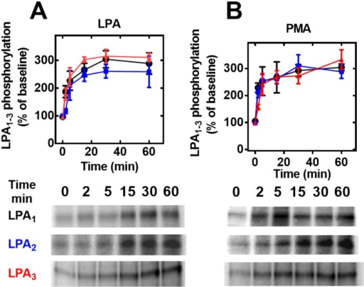 Time-courses of the effects of LPA and PMA on LPA1–3 receptor phosphorylation.Cells overexpressing LPA1 (black, circles), LPA2 (blue, squares) or LPA3 (red, triangles) receptors were incubated for the times indicated in the presence of 1 μM LPA (Panel A) or 1 μM PMA (Panel B). Plotted are the percentage of baseline phosphorylations as mean ± S. E. M. of 4–5 experiments using different cell preparations. Representative autoradiographs are presented for the different receptor subtypes.