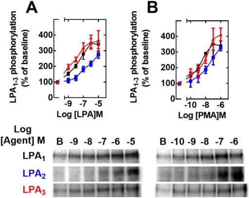 Concentration-response curves to LPA and PMA on LPA1–3 receptor phosphorylation.Cells overexpressing LPA1 (black, circles), LPA2 (blue, squares) or LPA3 (red, triangles) receptors were incubated for 15 min in the presence of different concentrations of LPA (Panel A) or PMA (Panel B). Plotted are the percentage of baseline phosphorylations as mean ± S. E. M. of 4–5 experiments using different cell preparations. Representative autoradiographs are presented for the different receptor subtypes.