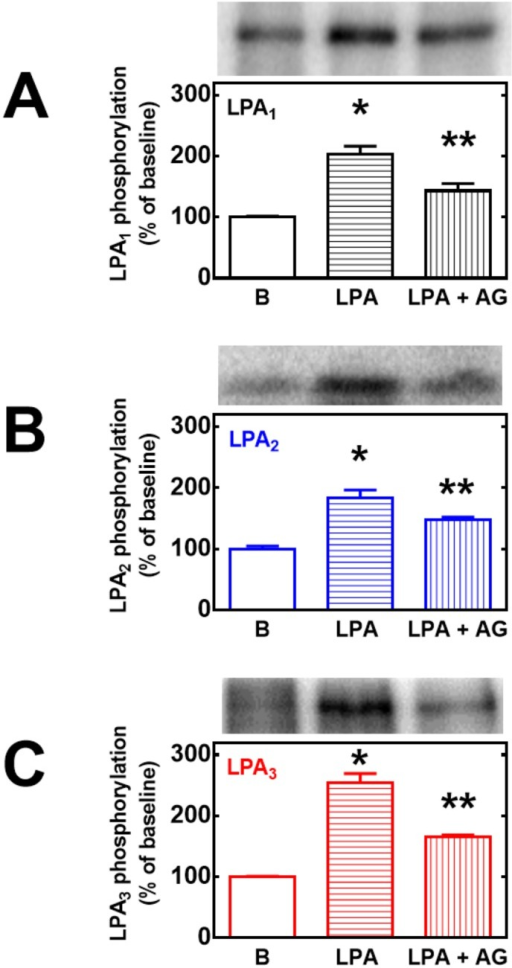 Role of EGF receptor transactivation on LPA-induced LPA1–3 receptor phosphorylation.Cells overexpressing LPA1 (panel A, black bars), LPA2 (panel B, blue bars) or LPA3 (panel C, red bars) receptors were preincubated for 30 min in the absence or presence of 10 μM AG1478 (+AG) and then incubated for 15 min in the absence or presence of 1 μM LPA. Plotted are the percentage of baseline (B) phosphorylations as mean ± S. E. M. of 4–5 experiments using different cell preparations. Representative autoradiographs are presented on the top of the figures for the different receptor subtypes. p < 0.001 vs. baseline; p < 0.05 vs. baseline and vs. LPA alone.