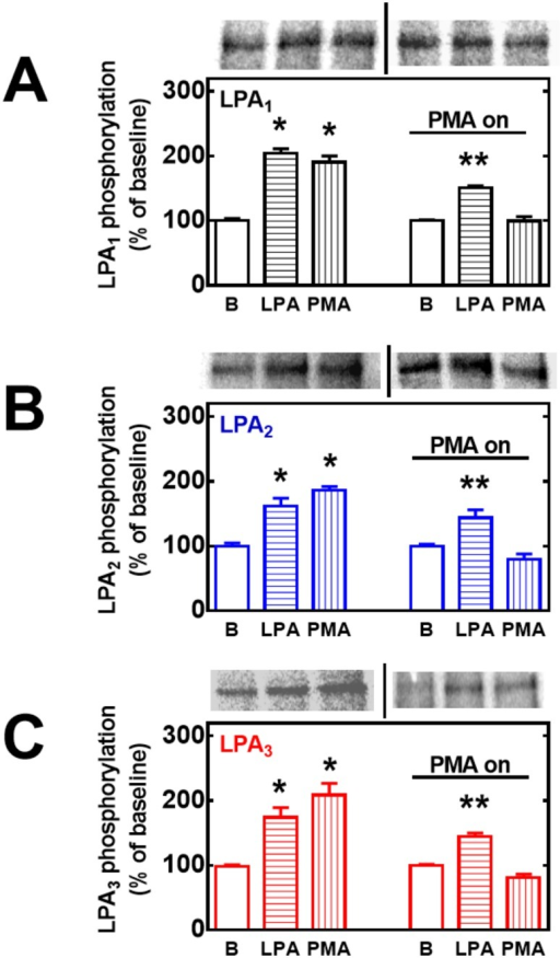 Role of PKC down-regulation on LPA- and PMA-induced LPA1–3 receptor phosphorylation.Cells overexpressing LPA1 (panel A, black bars), LPA2 (panel B, blue bars) or LPA3 (panel C, red bars) receptors were incubated in the absence or presence of 1 μM PMA overnight, washed and subjected to the receptor phosphorylation protocol. Cells were incubated for 15 min in the absence or presence of 1 μM LPA or 1 μM PMA. Plotted are the percentage of baseline (B) phosphorylations as mean ± S. E. M. of 3–4 experiments using different cell preparations. Representative autoradiographs separated by vertical lines are presented on the top of the figures for the different receptor subtypes. p < 0.001 vs. baseline; ** p < 0.05 vs. baseline.