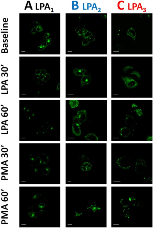 Images of the effects of LPA and PMA on LPA1–3 receptor internalization.Fluorescent confocal images of cells overexpressing LPA1 (column A), LPA2 (column B) or LPA3 (column C) receptors were incubated in the absence of any agent (Baseline) or for 30 or 60 min in the presence of 1 μM LPA or 1 μM PMA. Images are representative of data of 3–4 experiments using different cell preparations. Bars 15 μm.