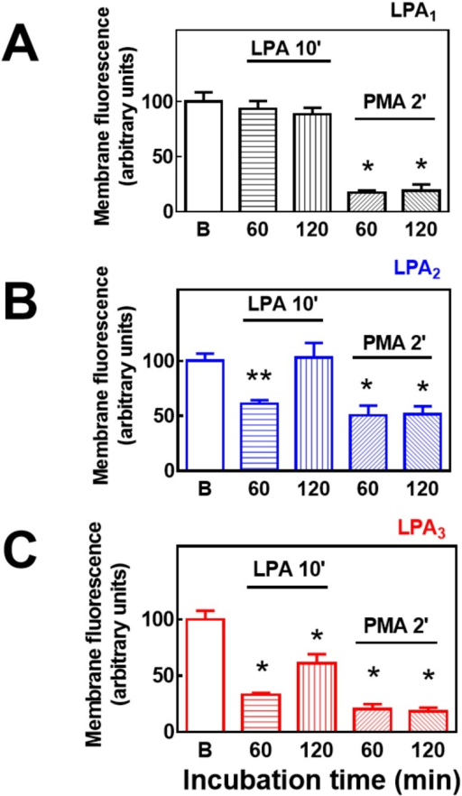 Effects of LPA and PMA on LPA1–3 receptor internalization (60 and 120 min).Cells overexpressing LPA1 (panel A), LPA2 (panel B) or LPA3 (Panel C) receptors were incubated in the absence of any agent (Baseline), for 10 min in the presence of 1 μM LPA, or for 2 min in the presence of 1 μM PMA. After this incubation cells were extensively washed and further incubated for the times indicated (60 or 120 min) Plotted is membrane-associated fluorescence (arbitrary units) as the mean ± S. E. M. of 5 different fields of 3 experiments using different cell preparations. * p <0.001 vs. baseline (B), ** p < 0.01 vs. baseline (B), *** p < 0.05 vs. baseline (B).