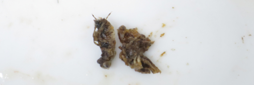 A portion of gut components of Lepomismacrochirusmacrochirus collected from the outdoor pool of Chigasaki Park, Yokohama City, Kanagawa Prefecture, Japan, on 14 June 2015. Dragonfly nymphs, Sympetrum sp., were included.