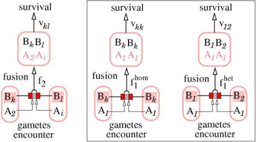 Schematic representation of the model determinants of reproduction and survival: (1) gametes encounter at random, (2) gamete fusion is determined by the B-locus (the object locus of mating), and fusion probabilities are modified by the A-locus (the mating modifier locus), (3) survival is determined by the B-locus (the object locus of survival) only; the B-locus thus is object of both gamete fusion and survival. The framed part refers to differential fusion modification with respect to homotypic and heterotypic encounters at the object locus B.