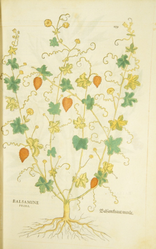 <p>Hand-colored woodcut of the balsam plant.</p>
