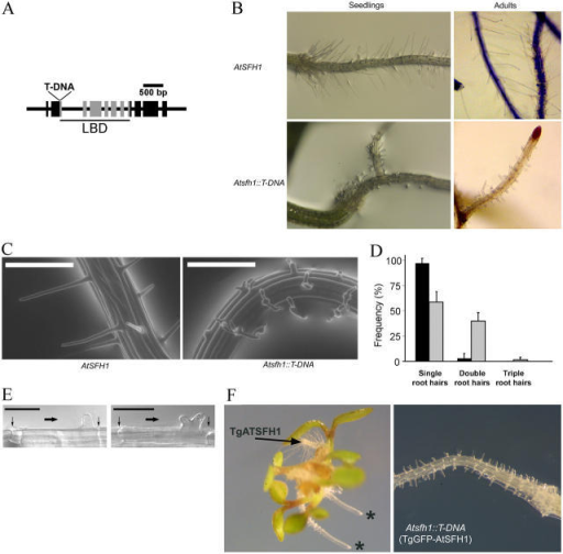 AtSfh1p function is essential for proper root hair development. (A) Genomic structure of AtSFH1. Sites of T-DNA insertion and the LBD coding regions are indicated. The Atsfh1::T-DNA allele harbors three T-DNA copies at the single site of insertion. (B) Root hair profiles of wild-type (top) and Atsfh1::T-DNA (bottom) plants. Corresponding profiles of 3-d-old seedlings (left) and adult plants (right) are shown. (C) ESEM of living 3-d-old wild-type (left) and Atsfh1::T-DNA (right) seedlings. Bars, 200 μm. (D) Frequencies of single, double, and triple root hairs in 3-d-old wild-type (black bars) and Atsfh1::T-DNA (gray bars) seedlings as determined by ESEM of 250 root hairs of each genotype (25 root hairs from each of 10 seedlings). Frequencies of each class of root hair morphology were determined for each individual seedling and the average frequencies and standard errors are given. (E) Nomarski images of wild-type (left) and Atsfh1::T-DNA (right) root epidermal cells initiating root hair growth. Vertical arrows identify cell plates. Horizontal arrows identify direction of primary root growth. Bars = 50 μm. (F) Root hair profiles of 3-d-old seedlings. (left) Atsfh1::T-DNA (*) and transgenic derivative bearing an ectopic wild-type gene (TgAtSFH1). (right) Transgenic Atsfh1::T-DNA seedling expressing an NH2-terminal (TgGFP-AtSFH1) gene fusion.