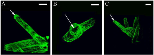 F-actin imaging in root hairs. (A) The peripheral actin cables are revealed by talin-GFP imaging as is the fine tip-directed f-actin network (arrow). F-actin imaging in mutant single (B) and double (C) root hairs. Arrows indicate compromise of the fine tip-directed f-actin network. Bars, 20 μm.