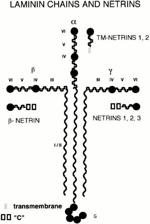 Cartoon of laminin and netrin families. Three classes of netrin molecules have been described; netrins 1–3 are more related to laminin γ chains, whereas the netrin reported here, β-netrin, is more related to the laminin β chains. Two additional molecules, one of which is a putative transmembrane molecule and are homologous to the short arm of laminin chains, have been found (see text for details; for simplicity they are shown along side the α chain). Thus, there is a growing family of molecules which have homology to the short arms of laminin molecules.