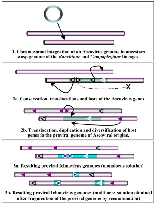 Hypothetical mechanism for the integration and evolution of ascovirus genomes in endoparasitic wasps. Schematic representation of the three-step process of symbiogenesis, and DNA rearrangements that putatively occurred in the germ line of the wasp ancestors in the Banchinae and Campopleginae lineages, from the integration of an ascoviral genome to the proviral ichnoviral genome. Sequences that originate from the ascovirus are in blue, those of the wasp host and its chromosomes are in pink. Genes of ascoviral origin are surrounded by a thin black or white line, depending on their final chromosomal location. Two solutions can account for the final chromosomal organisation of the proviral ichnovirus genome, monolocus or multilocus, since this question is not fully understood in either wasp lineage. More complex alternatives to this three-step process might also be proposed and would involve, for example, the complete de novo creation of a mono or multi locus proviral genome from the recruitment by recombination or transposition of ascoviral and host genes located elsewhere in the wasp chromosomes. This model for the chromosomal organization of proviral DNA in polydnaviruses is consistent with data recently published [58].