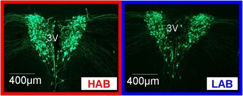 Vasopressin (AVP) immunohistochemistry analysis.AVP fluorescence antibody-staining of the paraventricular nucleus (PVN) flanking the 3rd ventricle (3V) in HAB and LAB mice. For corresponding in situ hybridization, see Fig. 7.